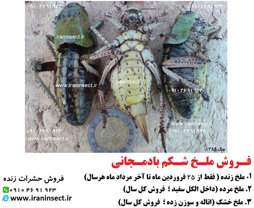 IRAN INSECT | سایت فروش حشرات زنده | www.iraninsect.ir | فروش حشرات زنده خشک شده اتاله شده یا داخل الکل سفید | فروش ملخ شکن بادمجانی | ملخ بادمجانی | ملخ فروش | فروش ملخ | دوره پرورش ملخ | کارگاه آموزش ملخ | ملخ خوراکی | تولید ملخ | سایت ملخ | مزرعه ملخ