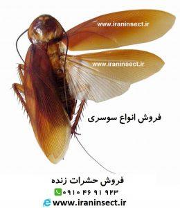 فروش سوسک سوسری | قیمت سوسک | سوسک آلمانی | سوسک سوسری آسیایی | سوسک آمریکایی | IRAN INSECT | سایت فروش حشرات زنده | www.iraninsect.ir | فروش حشرات زنده خشک شده اتاله شده یا داخل الکل سفید
