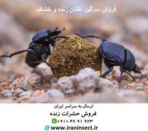 IRAN INSECT سایت فروش حشرات زنده www.iraninsect.ir | فروش سوسک سرگین غلتان پشکل بصورت انبوه|سوسک سرگین غلتان | سرگینغلتانک | سوسک سرگین |سوسک غلتان