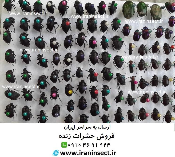 فروش کلکسیون حشرات خشک شده