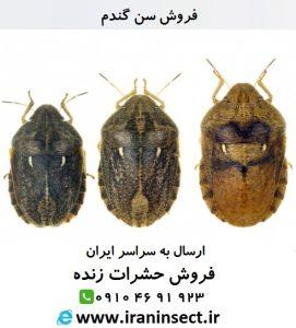 IRAN INSECT سایت فروش حشرات زنده ( www.iraninsect.ir) :فروش سن گندم | فروش حشرات زنده خشک شده اتاله شده یا داخل الکل سفید فروش سن گندم